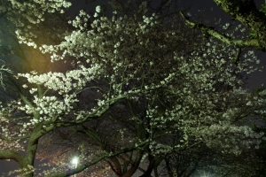 Cherry Blossoms at Night, Kodaira