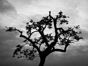 Pruned Tree, Kodaira