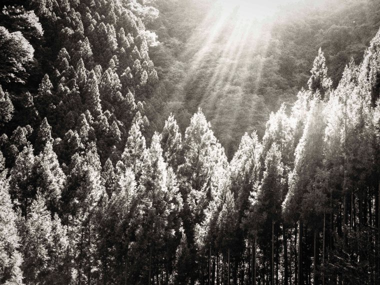 Sun Rays on Forest okutama