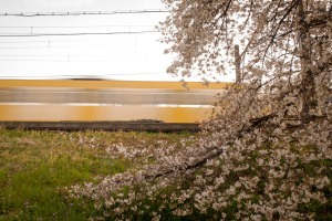 Train and Cherry Blossoms