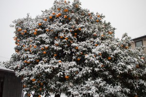 Orange Tree in the Snow