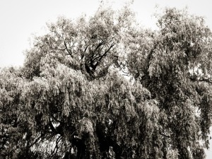 Ol' Man Willow