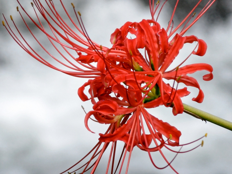 Higanbana Spider Lily, Koma