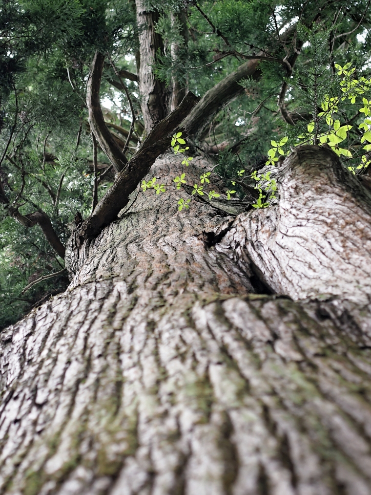 Old-Growth Cedar, Mitakesan