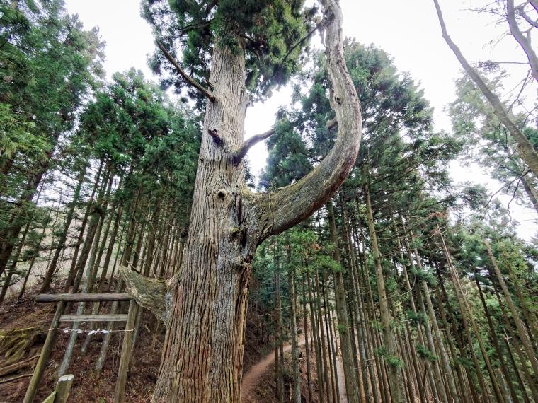 Tengu Tree, Mitakesan
