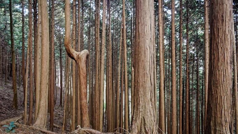 Cedar Trees, Hinodesan
