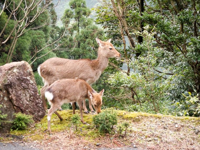Deer, Yakushima