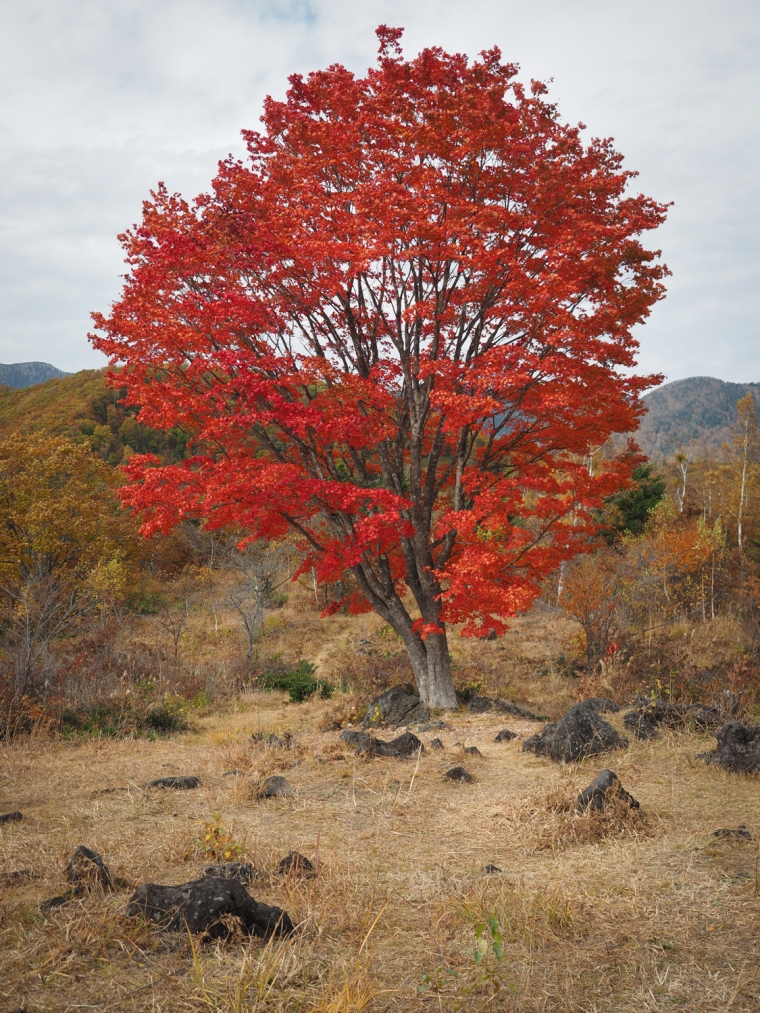 """Koyo,"" Japanese Maple, Norikuradake   Japan Alps"