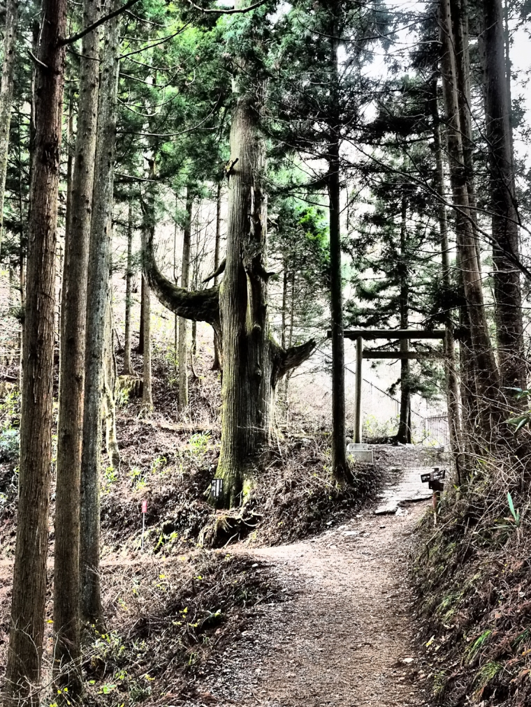 "Tenguno Koshikakesugi ""Tengu Tree"" Mount Mitakesan; Tokyo Japan"